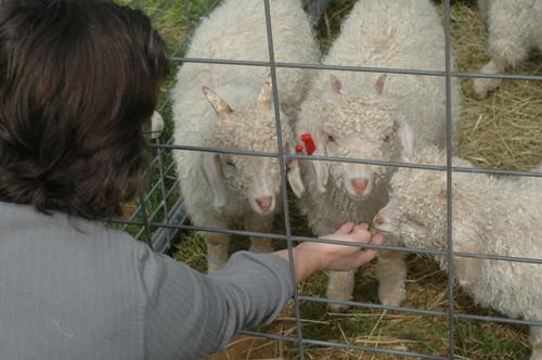 mom feeding the goats grass